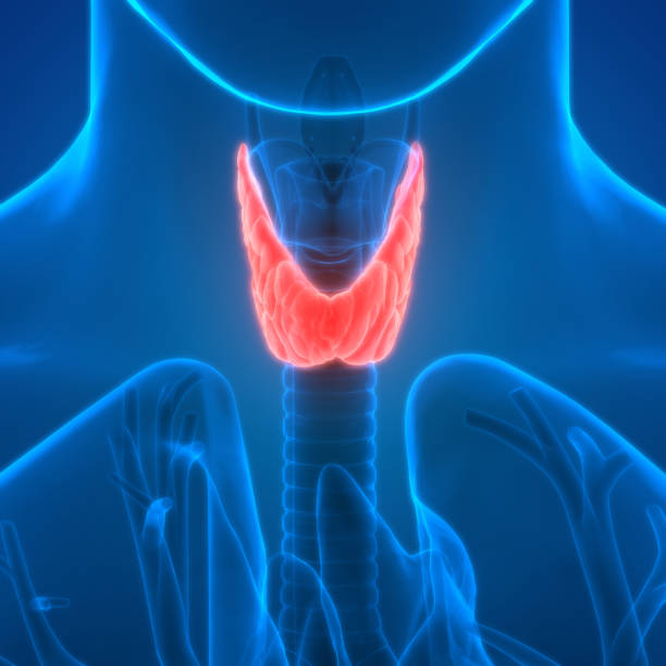 Thyroid Health - Thyroid Gland